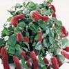 Acalypha, familia Euphorbiaceae ficha de cultivo