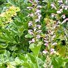 Acanthus, familia Acanthaceae  ficha de cultivo