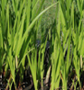 Acorus, familia Acoreaceae,  ficha de cultivo