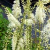 Actaea, familia Ranunculaceae,  ficha de cultivo