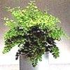 Adiantum, familia Polypodiaceae,  ficha de cultivo