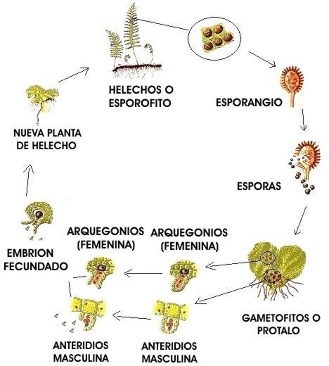 Pteris - Informacion sobre la planta - Propiedades y cultivo
