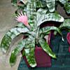 Aechmea, familia Bromeliaceae,  ficha de cultivo