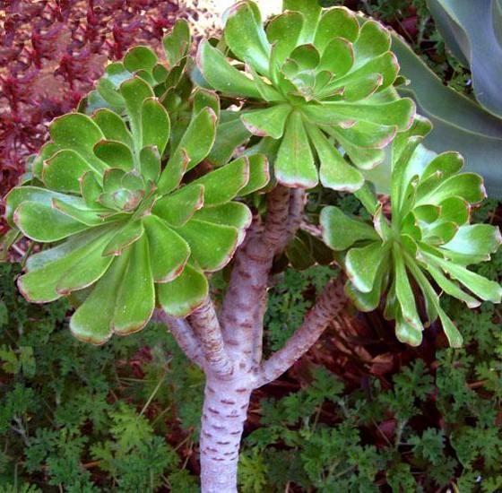 Aeonium crassulaceae como curar y cultivar las plantas for Suculentas chile