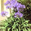 Agapanthus,  ficha de cultivo, familia Agapanthaceae