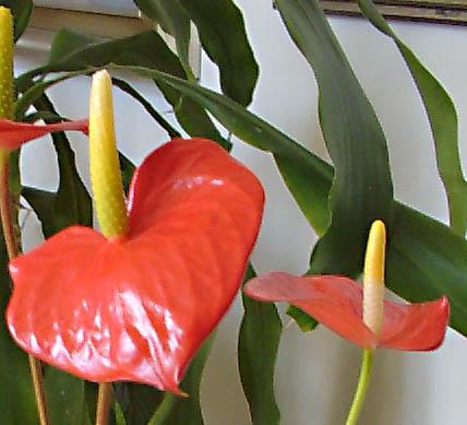 Anthurium Informacion Sobre La Planta Propiedades Y Cultivo