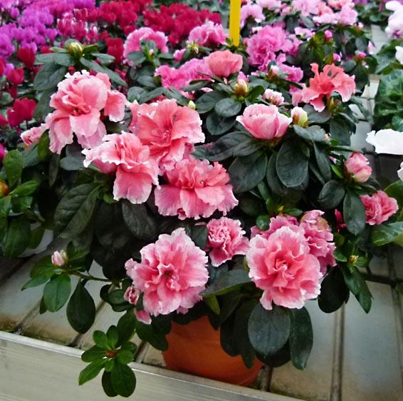 Azalea informacion sobre la planta propiedades y cultivo for Cura azalea