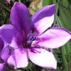 Babiana, familia Iridaceae,   ficha de cultivo