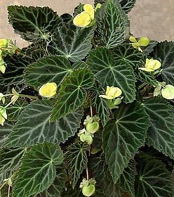 Begonia - Begoniaceae - Como curar y cultivar las plantas de Begonia