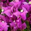 Bougainvillea, Bouganville, familia Nyctaginaceae, ficha de cultivo