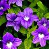 Browallia , familia Solanaceae,  ficha de cultivo