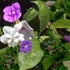 Brunfelsia, familia Solanaceae,  ficha de cultivo