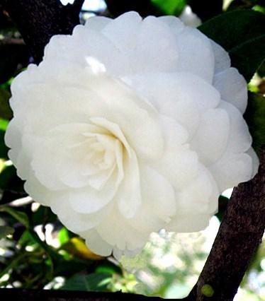 Camelia - Theaceae - Como curar y cultivar las plantas de Camelia