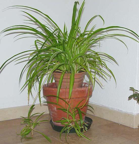 Chlorophytum informacion sobre la planta propiedades y for Planta ornamental blanca nieves