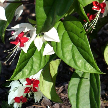 Clerodendrum thompsoniae