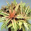 Cryptanthus  , ficha de cultivo