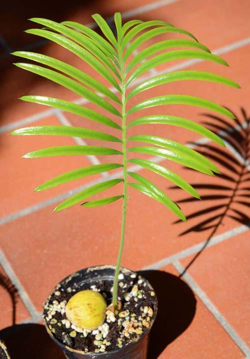 Palma robelina reproduccion asexual en