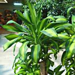 Dracena, dracaena, familia  Liliaceae, , ficha de cultivo