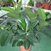 Ficus, , ficha de cultivo