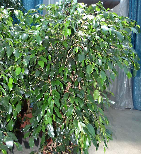Ficus informacion sobre la planta propiedades y cultivo - Variedades de ficus ...