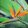 Strelitzia (Flor de pájaro o ave del Paraíso), ficha de cultivo