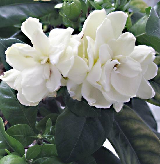 Gardenia , Informacion sobre la planta , Propiedades y cultivo