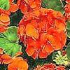 Pelargonium conosciuto come geranio, , ficha de cultivo
