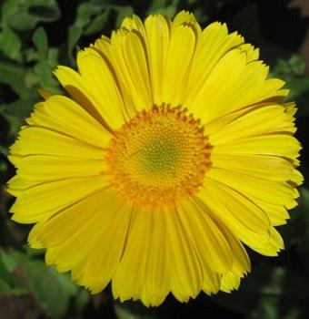 Gerbera Informacion Sobre La Planta Propiedades Y Cultivo