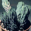Haworthia, , ficha de cultivo