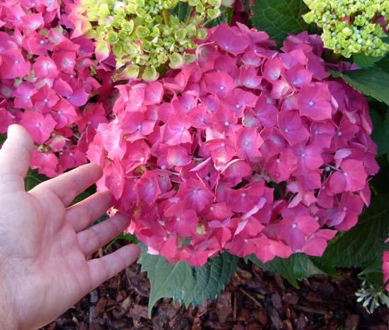Hortensia informacion sobre la planta propiedades y - Poda de hortensias epoca ...