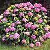 Hortensia, familia Hydrangeaceae, , ficha de cultivo
