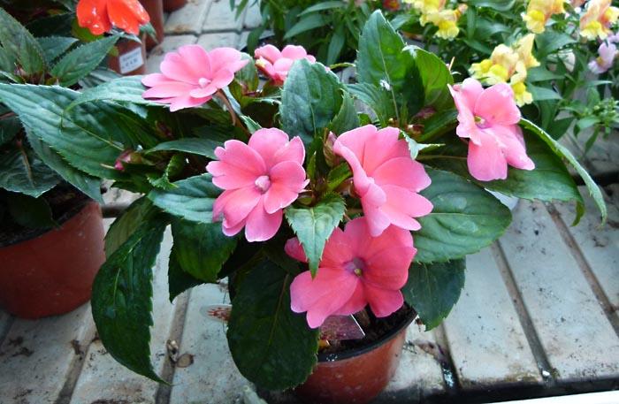Plantas impatiens alegr a de casa balsamina miramelindos impatiens walleriana impatiens - Planta alegria del hogar ...