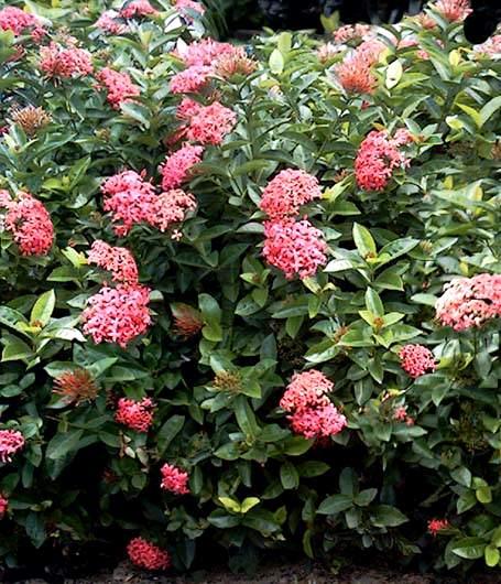 Ixora informacion sobre la planta propiedades y cultivo - Cuidados de las hortensias ...