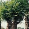 Jacaranda familia Bignoniaceae, , ficha de cultivo