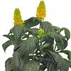 Pachystachys, familia Acanthaceae, , ficha de cultivo