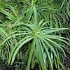 Papiro,  familia Cyperaceae , , ficha de cultivo