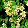 Pereskia,  familia Cactaceae, , ficha de cultivo