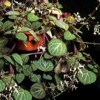 Plectranthus, , ficha de cultivo