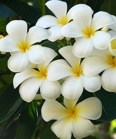 Plumeria Informacion Sobre La Planta Propiedades Y Cultivo