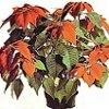 Poinsetia, pianta ornamentale, , ficha de cultivo