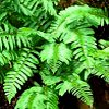 Polysticum, familia Polypodiaceae, , ficha de cultivo