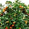 Solanum, , ficha de cultivo
