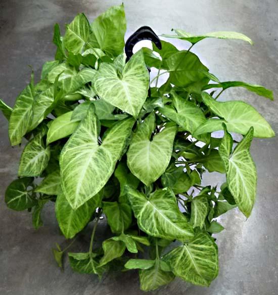Syngonium - Araceae - Como curar y cultivar las plantas de singonio