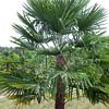 Trachycarpus, , ficha de cultivo