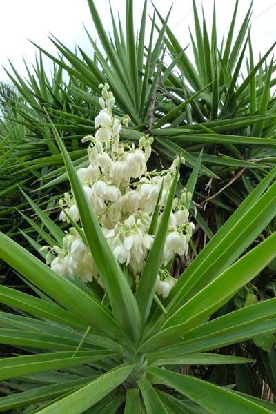 Yuca Informacion Sobre La Planta Propiedades Y Cultivo - Plantas-verdes-exterior
