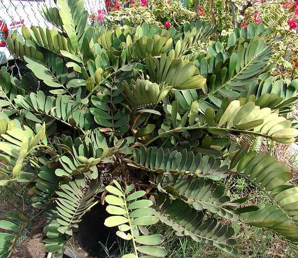 Zamia informacion sobre la planta propiedades y cultivo for Planta ornamental zamia