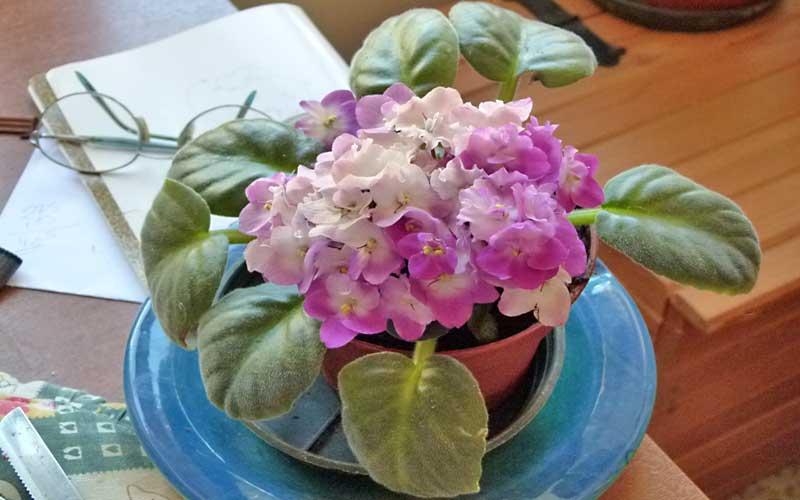 Cultivo Violeta africana o SaintPaulia