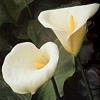 Cala lenguaje, significado, Lenguaje de las flores