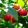 Los frutos del bosque nativo son una nueva opción productiva