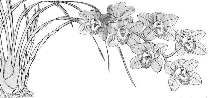 Cymbidium, Orquídea: Técnicas de cultivo y principales especies ...
